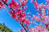 Close up branch of pink cherry blossom at Chiang Mai, Thailand