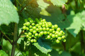 Vine green grape in champagne vineyards at montagne de reims, France