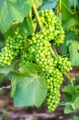 Close up young green grape in champagne vineyards at montagne de reims, France