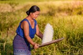 Farmer asian woman threshed rice to remove chaff, sifts rice at the rice field at countryside in Thailand