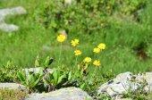 Arnica of Ilyin (Maguire) Iljin (Asteraceae family)