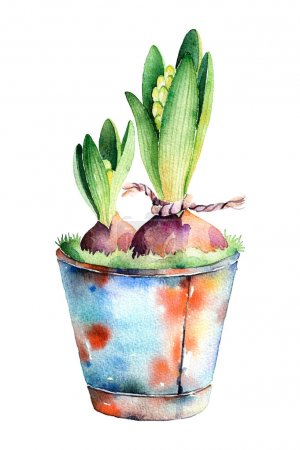 2 hyacinth in shabby old pot.