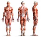 Muskeln Anatomie Mensch isoliert auf weiss