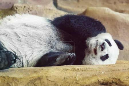 Cute giant panda sleeping...