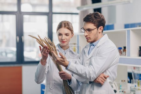 Photo for Biologists in white coats with dry wheat ears in laboratory - Royalty Free Image