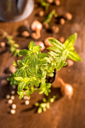 mint growing in a flowerpot