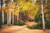 autumn birch forest background