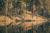 Coniferous Pine Forest and lake autumn landscape moody weather