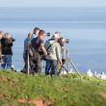 Постер, плакат: Photographers taking pictures of Northern Gannets at German isla
