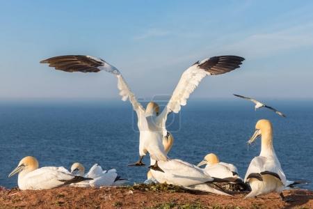 Photo pour Fou de Bassan avec spreadout ailes atterrissant près de sa compagne dans une colonie de reproduction à la falaise de l'île de Helgoland, Allemagne - image libre de droit