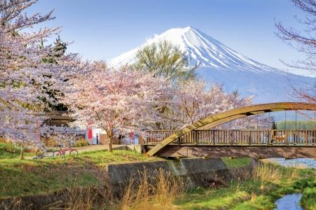 Sakura Trees and Bridge with Fuji Mountain Background in Spring at Kawaguchiko Lake, Japan