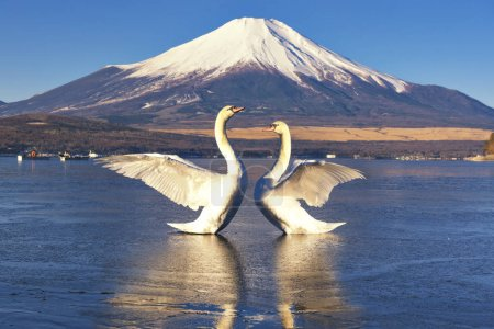 Two Swans and Fuji Mountain at Yamanakako Lake