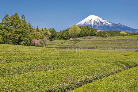 Tea Plantation and Fuji Mountain at Shizuoka, Japan