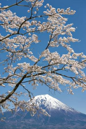 Fuji Mountain and Sakura Branches at Tanuki Lake, Japan
