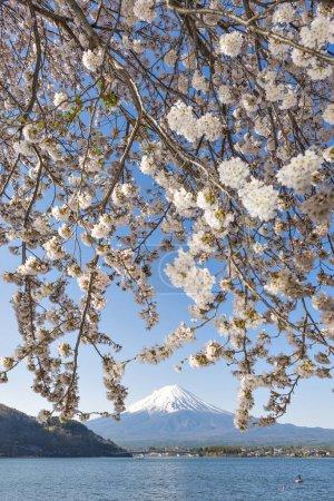 Fuji Mountain and Sakura Branches at Kawaguchiko Lake, Japan