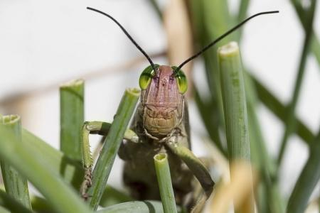 Locust in the chives