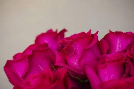 großer Strauß schöner dunkelrosa Rosen auf grauem Hintergrund