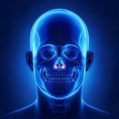 human skull inferior nasal concha