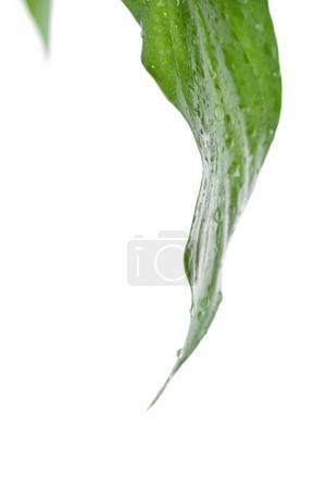 Fresh grean leaf with water drops