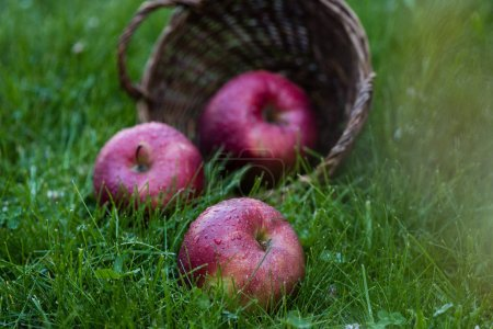 Photo for Close-up view of fresh ripe apples with water drops falling from basket in grass - Royalty Free Image