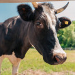 Horned cow standing on sunny pasture and looking a...