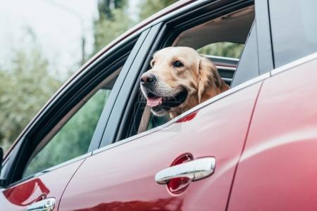 dog looking out of car window