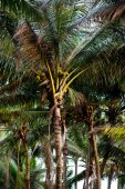 palm trees with coconuts