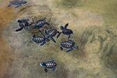 "Постер, картина, фотообои ""Маленькие морские черепахи"""