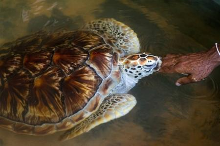 sea turtle touching hand of woman