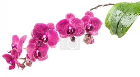 Foto de Orquídeas flores aisladas sobre fondo blanco - Imagen libre de derechos