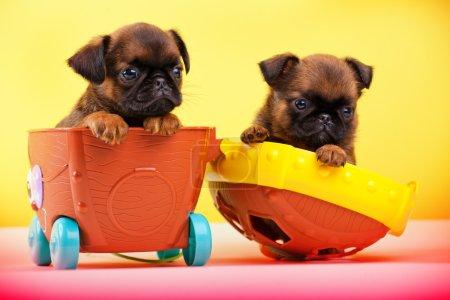 Photo pour Griffon chien dans le chariot bébé - image libre de droit