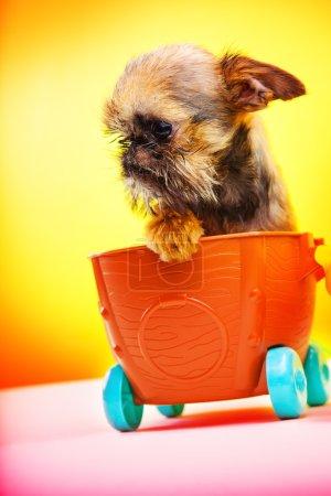 Photo pour Chiots Griffon dans le chariot bébé - image libre de droit