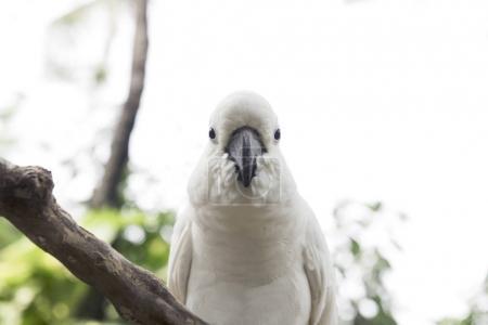 White cockatoo, Sulphur-crested Cockatoo