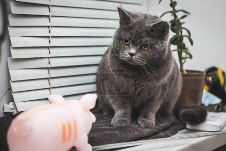 Photo pour Chat de CloseUp surpris Maine Coon avec bouche ouverte - image libre de droit