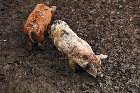 Cute dirty piglets on the farm