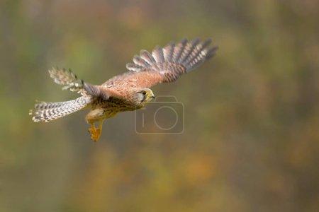 Common kestrel (Falco tinnunculus) is a bird of pr...