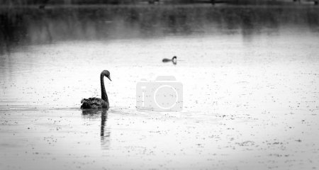 Photo pour Cygne noir nageant sur une section calme du fleuve Murray, Australie en noir et blanc - image libre de droit