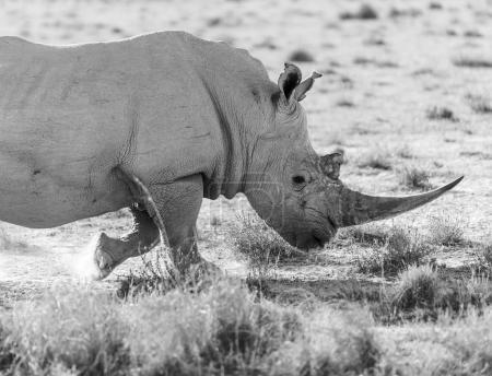 Photo pour Rhinocéros blanc ou rhinocéros en safari au Botswana, Afrique en noir et blanc - image libre de droit
