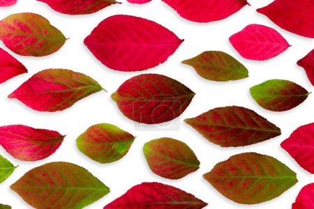 Photo for Closeup Colorful Burning Bush Autumn Leaves Isolated on White - Royalty Free Image