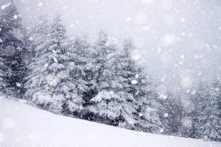 Photo pour Sapins couverts de neige dans de fortes chutes de neige - fond de Noël - image libre de droit