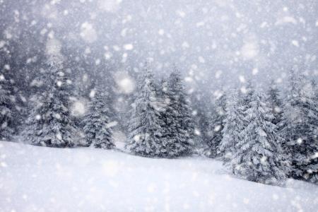 Foto de Abetos cubiertos de nieve en fuertes nevadas - Fondo de Navidad - Imagen libre de derechos
