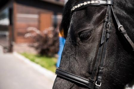 purebred horse with bridle