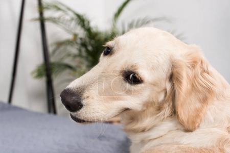 Photo pour Golden retriever chien regardant la caméra tout en étant couché sur le lit à la maison - image libre de droit