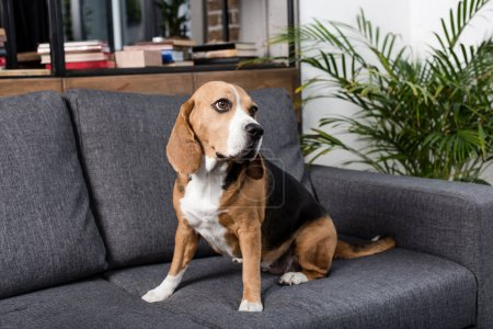 Beagle dog on sofa