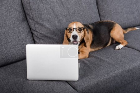 Photo for Funny beagle dog in eyeglasses looking at laptop while lying on sofa - Royalty Free Image