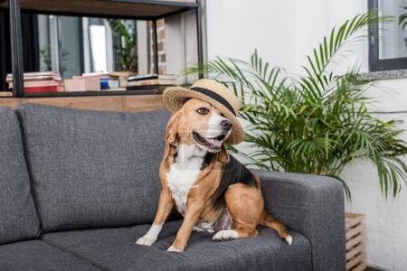 beagle dog in hat