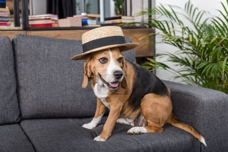 Funny beagle dog in straw hat sitting on sofa...