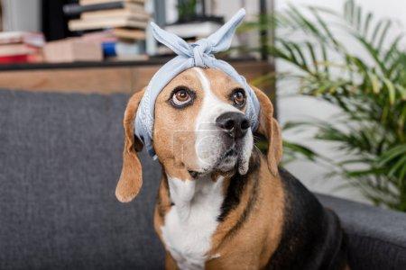 chien Beagle à bandana
