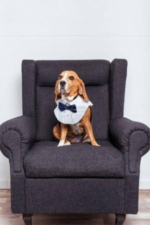 Beagle dog in bow tie