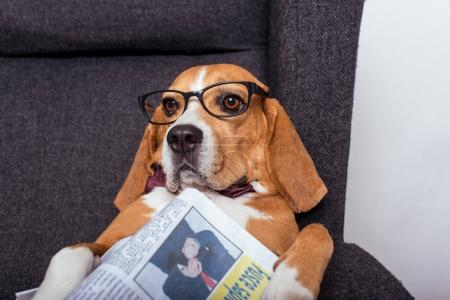 beagle dog with newspaper